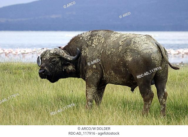 African Buffalo Lake Nakuru national park Kenya Syncerus caffer Cape Buffalo