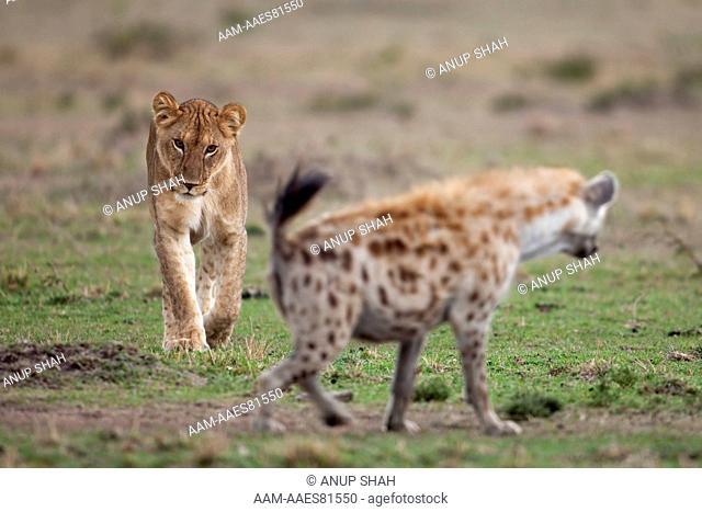Lioness (Panthera leo) approaching a Spotted Hyena (Crocuta crocuta). Maasai Mara National Reserve, Kenya. October 2009