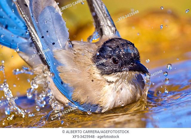 Azure-winged Magpie, Cyanopica cooki, Rabilargo, Forest Pond, Castilla y León, Spain, Europe