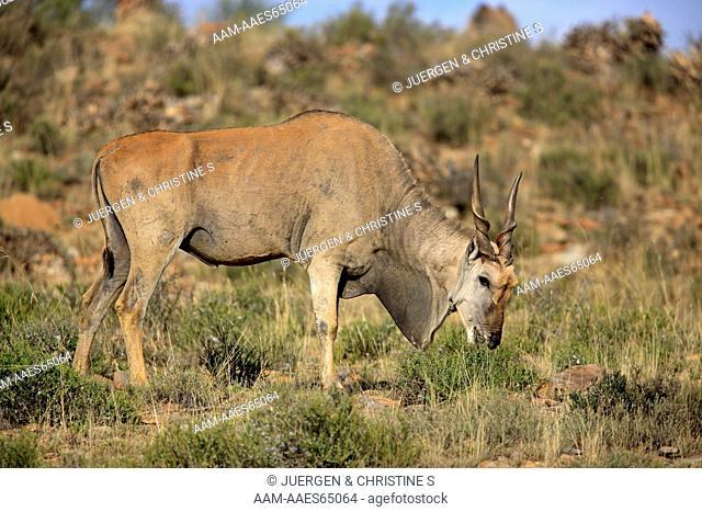 Eland, Taurotragus oryx, Mountain Zebra National Park, South Africa, adult feeding