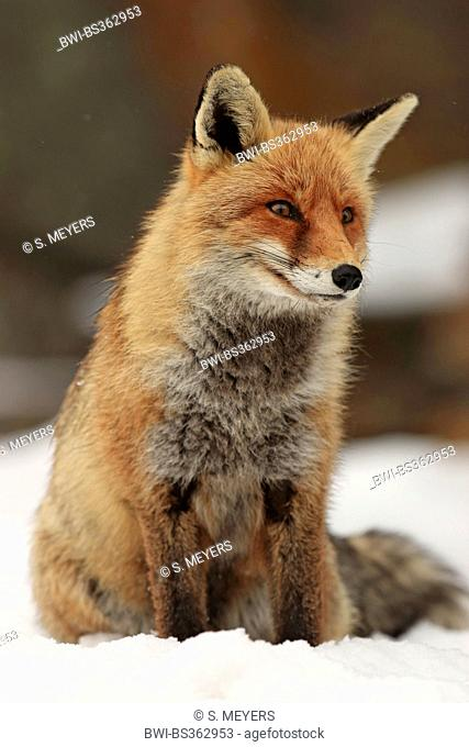 red fox (Vulpes vulpes), sitting in the snow, Italy