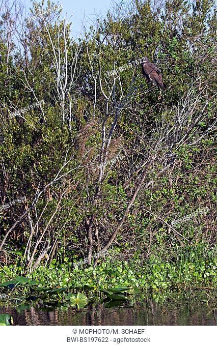 everglade kite (Rostrhamus sociabilis), sitting on branch, USA, Florida, Lake Kissimmee
