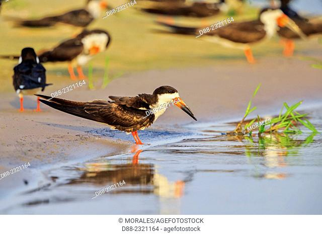 South America,Brazil,Mato Grosso,Pantanal area,Black Skimmer (Rynchops niger),ready to drink