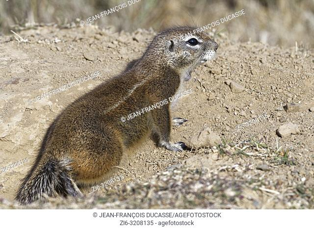 Cape ground squirrel (Xerus inauris), adult, looking out from the burrow entrance, Mountain Zebra National Park, Eastern Cape, South Africa, Africa