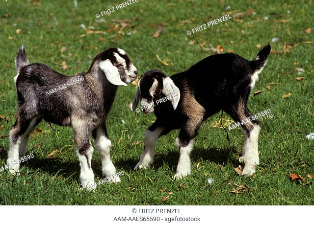 Anglo-Nubian Goat Kids