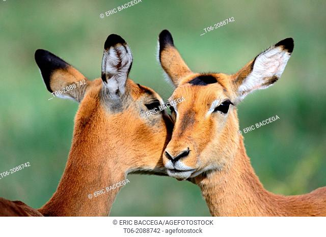 Impala (Aepyceros melampus), females grooming, Nakuru National Park, Kenya, Africa, October