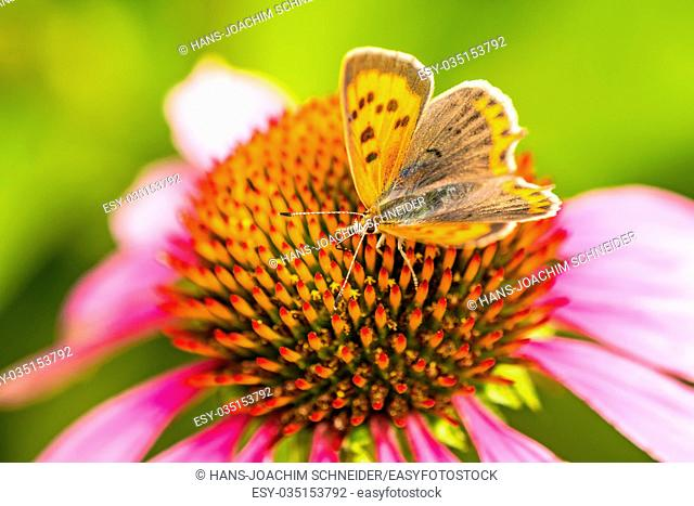 common copper butterfly on cone flower