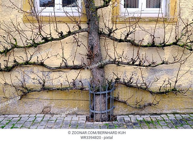 Blattloser Spalierobstbaum als waagerechte Palmette an einer Hauswand im Winter. Querformat. Leafless espalier tree as horizontal palmette in front of a house...