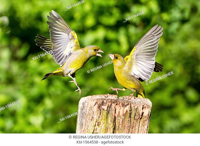 Greenfinch Carduelis chloris, fighting in flight, Lower Saxony, Germany