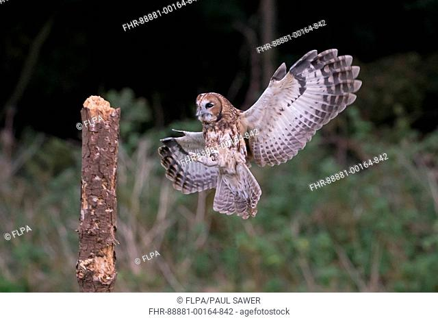 Tawny Owl (Strix aluco) adult, flying, landing on stump, Suffolk, England, November, controlled subject