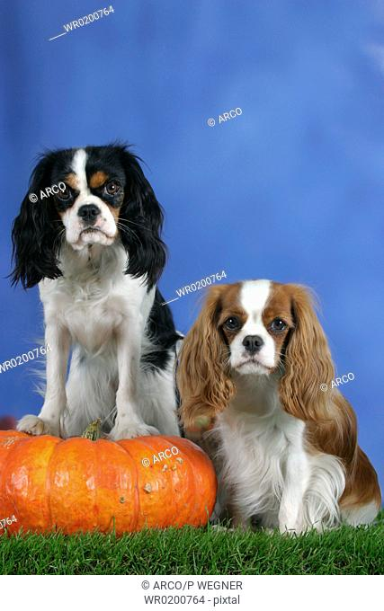 Cavalier, King, Charles, Spaniel, Blenheim, and, tricolor, with, Pumpkin