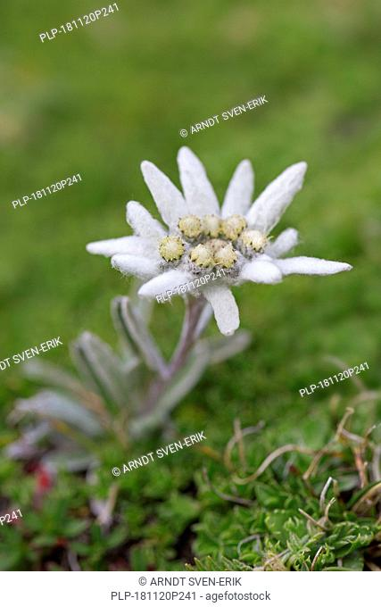 Edelweiss (Leontopodium nivale) flower in summer, native to the Alps, Pyrenees, Jura, Carpathian Mountains, Balkan mountain range and Apennines