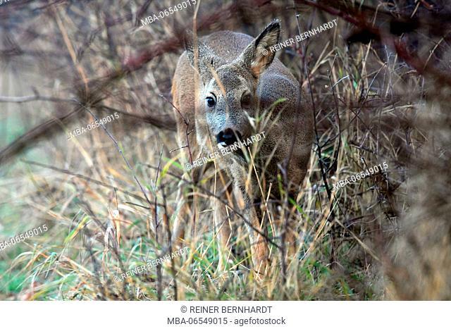 Deer in the forest, Capreolus capreolus