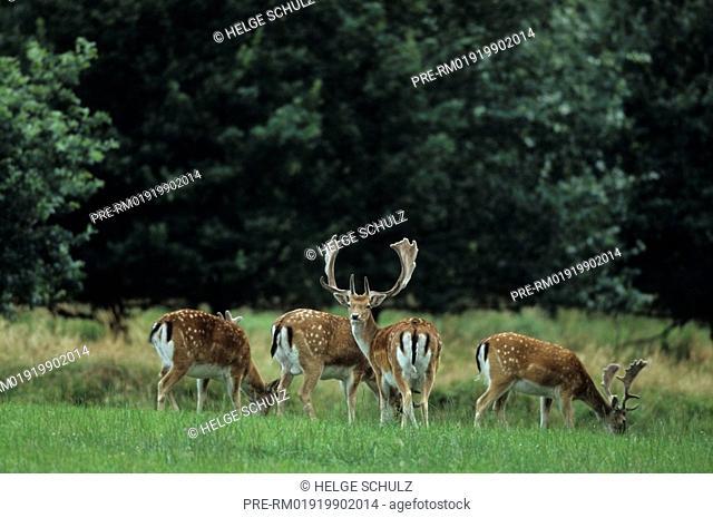 Fallow Deer, Dama dama, Cervus dama