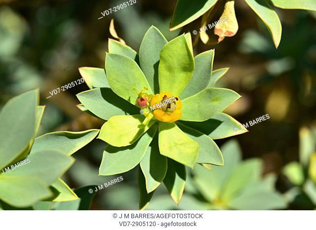 Tabaiba dulce (Euphorbia balsamifera) is a shrub native to Canary Islands, North Africa and Arabian Peninsula. This photo was taken in La Lanzarote Island