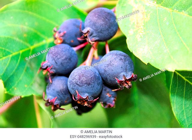 A cluster of ripe saskatoon berries hanging between leaves