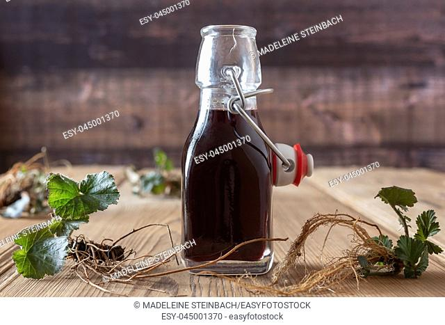 Bottle of red wine in which roots of young Geum urbanum plants have been macerated, according to an old recipe of Hildegard of Bingen