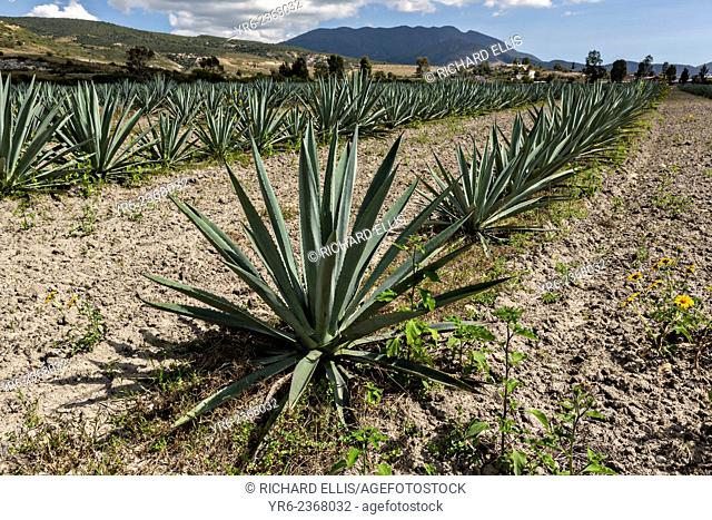 Blue agave plants growing in a field November 5, 2014 in Matatlan, Mexico. The plants which take up to 12-years to grow are used in making Mezcal