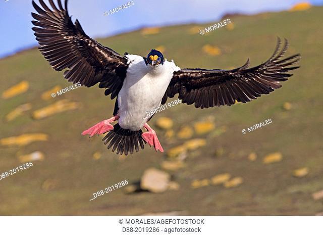 Falkland Islands, Saunders island, King Shag or Imperial Shag Phalacrocorax atriceps albiventer, in flight