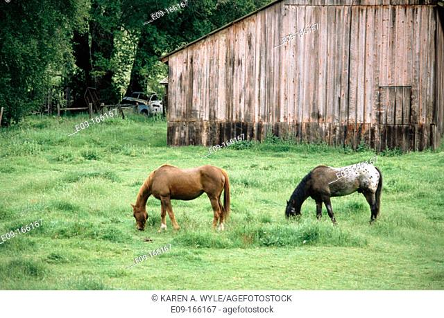 Horses grazing in field near weathered red barn, northern California, USA
