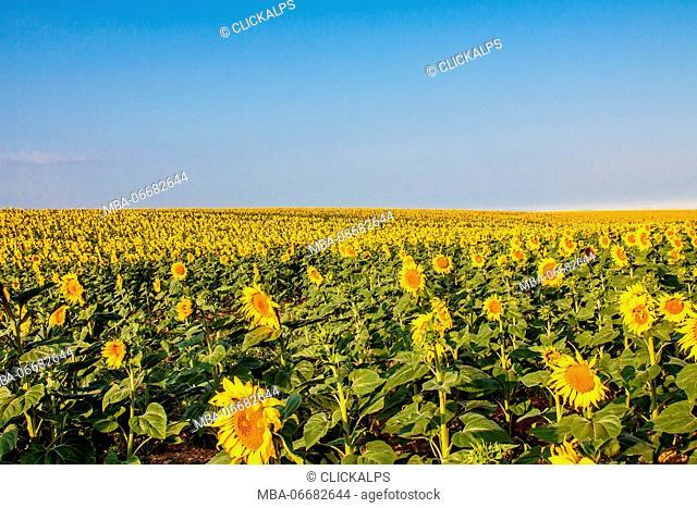 France, Provence Alps Cote d'Azur, Haute Provence, Plateau of Valensole, sunflowers