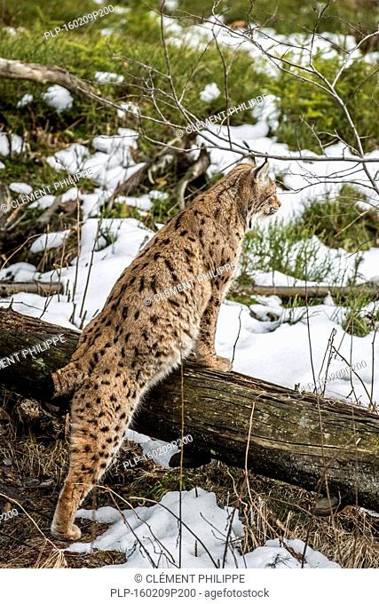Eurasian lynx (Lynx lynx) hunting and looking for prey in the taiga in the snow in winter / spring