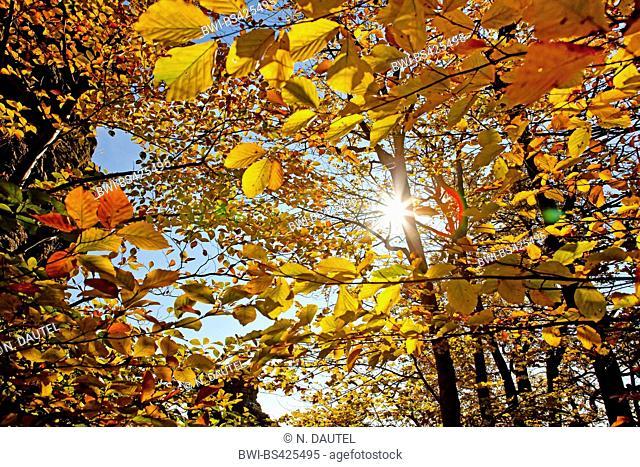common beech (Fagus sylvatica), sun behind a beech in autumn, Germany, Baden-Wuerttemberg