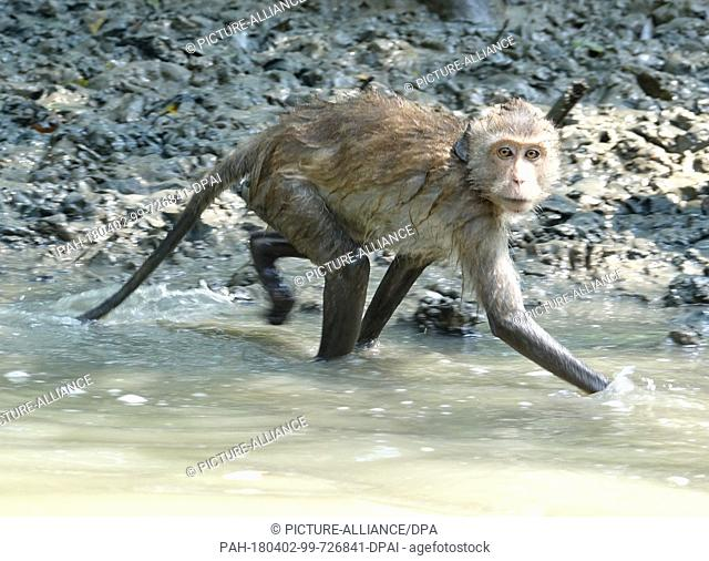 26 February 2018, Thailand, Samut Songkram: A macaque waits for food in the estuary of the Mae Klong River in Samut Songkram province