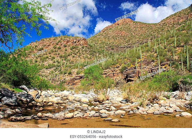 A mountain of saguaro cactus beside a creek in Bear Canyon in Sabino Canyon Recreation Area Park in the Sonoran Desert along the Santa Catalina Mountains in...