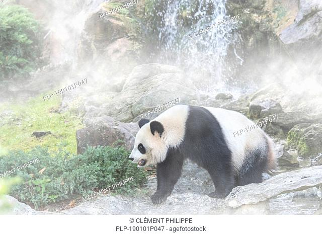 Giant panda (Ailuropoda melanoleuca) foraging in front of waterfall in the mist
