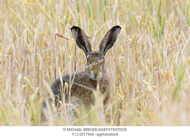 European brown hare (Lepus europaeus), Hesse, Germany, Europe