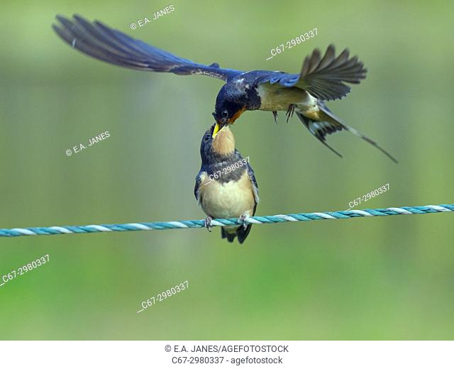 Swallow Hirundo rustica adult feeding young on fence