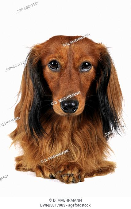 Long-haired Dachshund, Long-haired sausage dog, domestic dog (Canis lupus f. familiaris), portrait, Germany