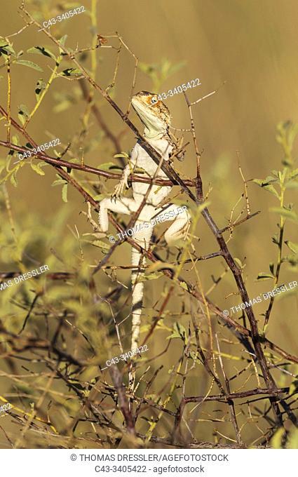 Ground Agama (Agama aculeata). Basking. Kalahari Desert, Kgalagadi Transfrontier Park, South Africa
