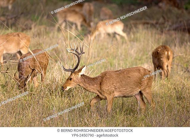 Swamp deer (Rucervus duvaucelii) on meadow, Kanha National Park, Madhya Pradesh, India