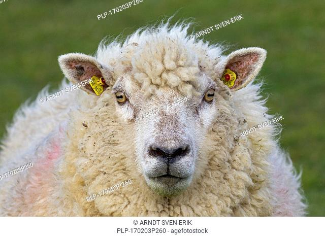 Close up of tagged white sheep ewe with two yellow eartags / ear marks