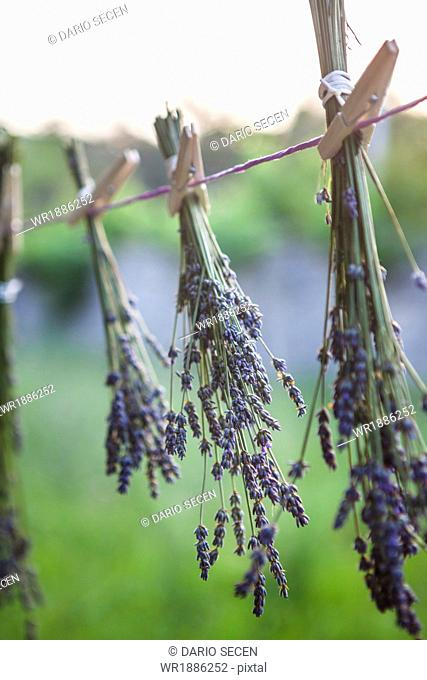 Lavender Bunches Drying In The Sun, Croatia, Dalmatia, Europe
