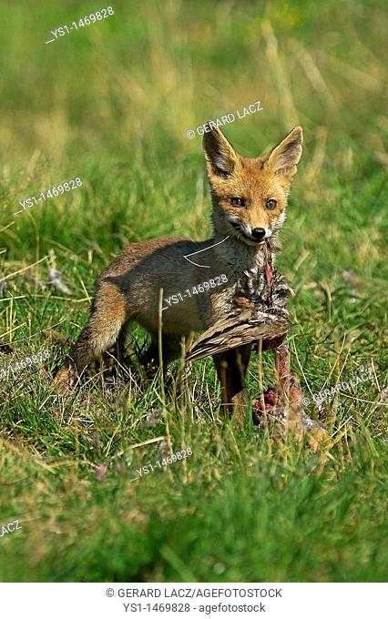 Red Fox, vulpes vulpes, Adult killing a Partridge, Normandy