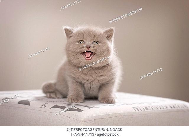 British Shorthair Kitten