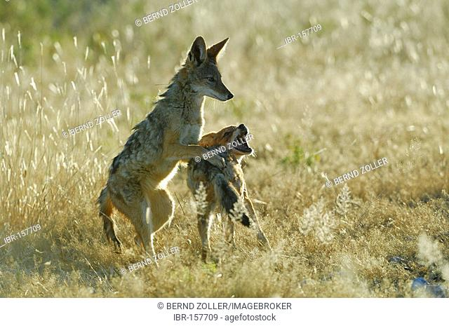 Black backed Jackal (Canis mesomelas) playing in backlight