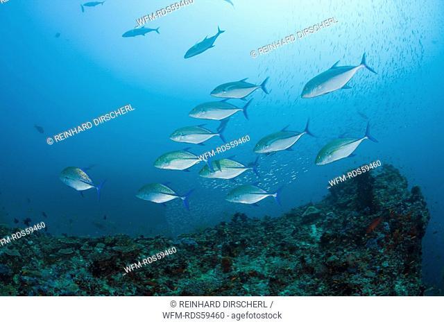 Hunting Bluefin Trevally, Caranx melampygus, Maya Thila, North Ari Atoll, Maldives