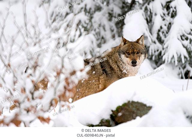 Gray wolf (Canis lupus), Bavarian Forest National Park, Bavaria, Germany