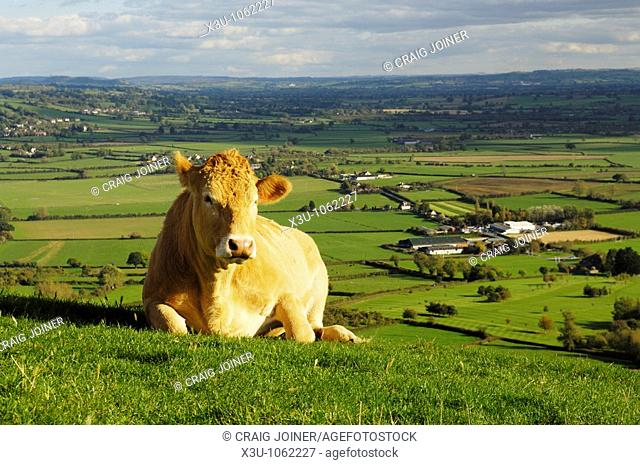 A cow lying down on the side of Glastonbury Tor overlooking the Somerset Levels in Somerset England