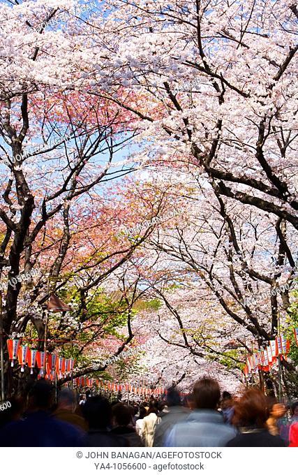 NR Tokyo , Ueno park, cherry blossom trees and tourists