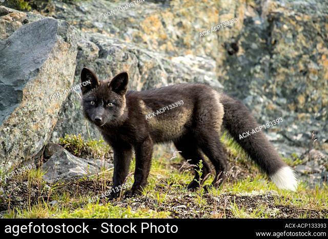 red fox (Vulpes vulpes) Black morph