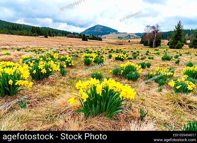 Wild yellow Narcissus on the mountain meadow and Bukovec hill on background. Jizerka village, Jizera Mounains, Czech Republic