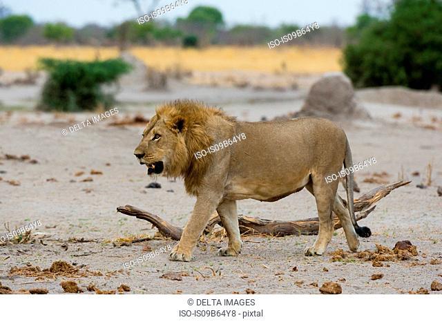 Male Lion (Panthera leo), Savuti, Chobe National Park, Botswana, Africa