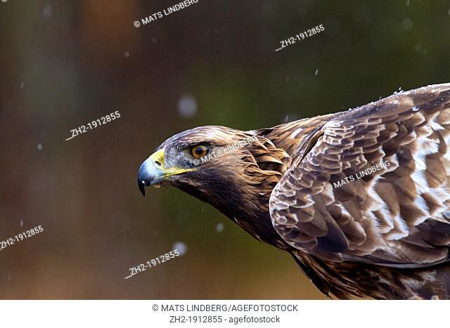 Portrait of Golden eagle, Aquila chrysaetos