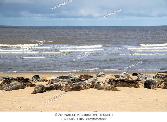 Grey seal , Halichoerus grypus, on the breeding beaches at Horsey, Norfolk, UK