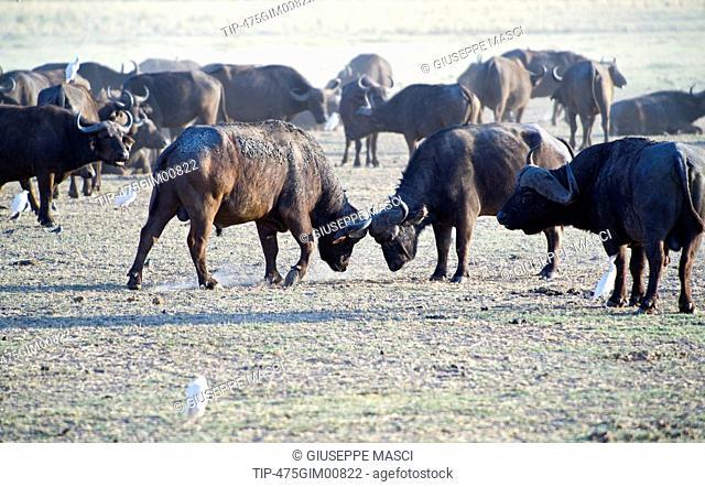 Africa, Tanzania, Lake Manyara National Park, a buffalos herd Syncerus caffer